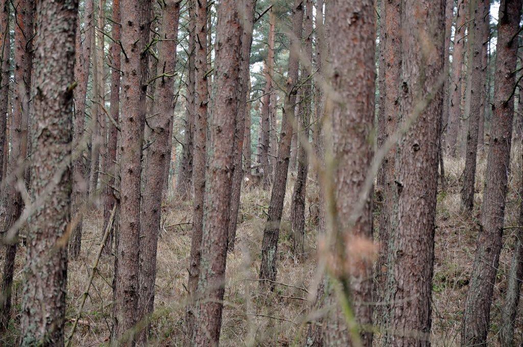 Pomiędzy drzewami wysilając wzrok można zobaczyć jelonka ;)