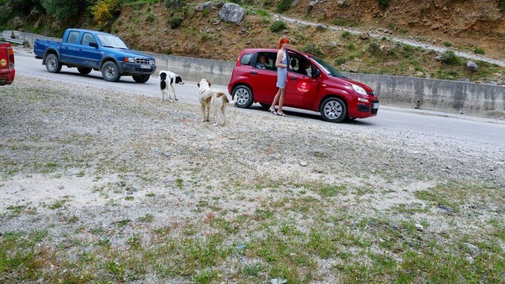 W drodze do Argostoli spotykamy kozy